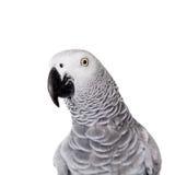 Попугай африканского серого цвета, изолированный на белой предпосылке Стоковые Фотографии RF
