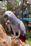 Попугай африканского серого цвета сидя на ветви дерева Стоковая Фотография
