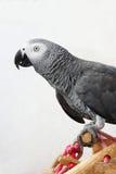 Попугай африканского серого цвета Courious Стоковая Фотография RF