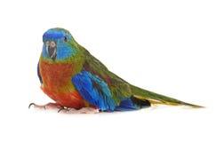 Попугай бирюзы в студии Стоковые Фото