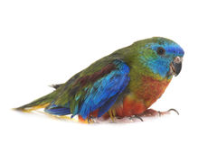 Попугай бирюзы в студии Стоковое Изображение RF