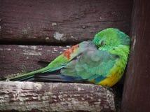 Попугай бирюзы Стоковые Фотографии RF