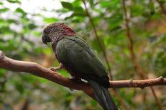 Попугай возглавленный хоуком садить на насест на ветви дерева Стоковое фото RF
