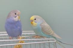 Попугай волнистого попугайчика в его клетке Стоковое Фото