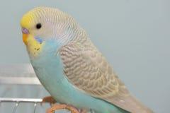 Попугай волнистого попугайчика в его клетке Стоковые Изображения