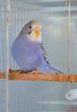 Попугай волнистого попугайчика индиго Стоковое фото RF