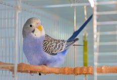 Попугай волнистого попугайчика индиго Стоковое Фото