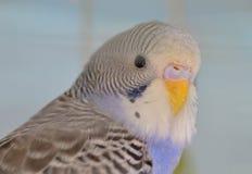Попугай волнистого попугайчика индиго Стоковые Фото