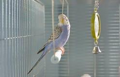 Попугай волнистого попугайчика индиго Стоковая Фотография