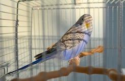 Попугай волнистого попугайчика индиго Стоковая Фотография RF