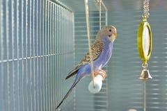 Попугай волнистого попугайчика индиго Стоковое Изображение RF