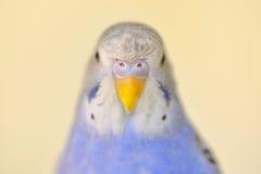 Попугай волнистого попугайчика индиго Стоковые Фотографии RF