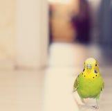 Попугай волнистого попугайчика идя на пол Стоковая Фотография