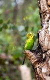 Попугай волнистого попугайчика около гнезда Стоковые Изображения RF