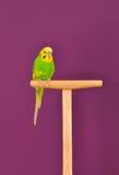 Попугай волнистого попугайчика садить на насест на стойке Стоковое Фото