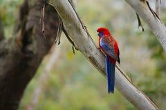 Попугай в ветвях стоковая фотография rf