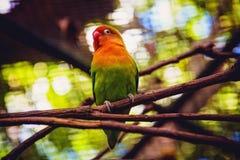Попугай в зоопарке Маврикии casella Стоковые Изображения