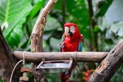 Попугай в парке птицы, Iguazu, Бразилии Стоковая Фотография