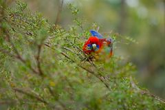 Попугай в древесинах стоковая фотография