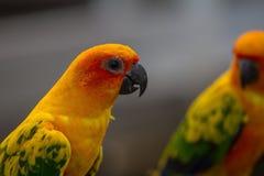 Попугай длиннохвостого попугая Солнця или Солнця Conure Стоковое фото RF