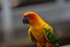 Попугай длиннохвостого попугая Солнця или Солнця Conure Стоковая Фотография