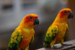 Попугай длиннохвостого попугая Солнця или Солнця Conure Стоковые Изображения RF