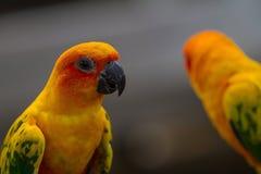 Попугай длиннохвостого попугая Солнця или Солнця Conure Стоковая Фотография RF