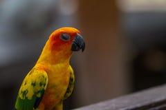 Попугай длиннохвостого попугая Солнця или Солнця Conure Стоковое Изображение