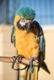 Попугай желт-зеленый Стоковая Фотография