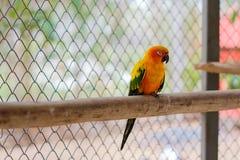 Попугай длиннохвостого попугая Солнця спать и садясь на насест на ветви Стоковые Изображения RF