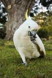 Попугай какаду Стоковое фото RF