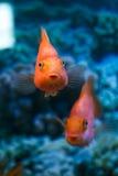 Попугай красного цвета рыб Стоковое Фото