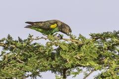 Попугай Мейера (Брайна), есть стоковая фотография rf