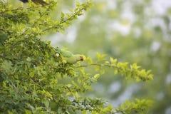 Попугай на дереве шелковицы стоковое фото