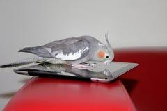 Попугай на приборе таблетки Стоковые Фото