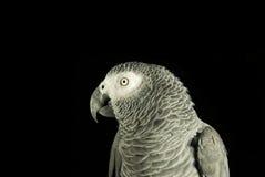 Попугай на черноте Стоковая Фотография