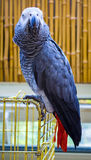 Попугай попыгай африканского серого цвета Попугай Jaco стоковое фото