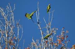 Попугай посадки Стоковая Фотография