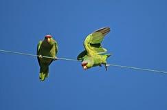 Попугай подныривания Стоковое Изображение RF