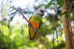 Попугай Сенегала или senegalus Poicephalus сидя на зеленом конце предпосылки дерева вверх стоковые фотографии rf