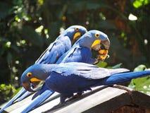 Попугай сини ары Hyacint Стоковое Изображение