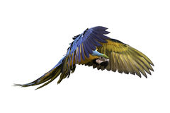 Попугай сини и золота в полете стоковое изображение rf