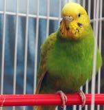 Попугай сидит в клетке Стоковые Изображения RF