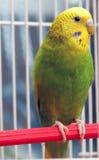 Попугай сидит в клетке Стоковые Фото