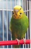 Попугай сидит в клетке Стоковое фото RF
