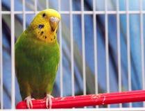 Попугай сидит в клетке Стоковые Изображения