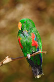 Попугай сидя в ветви, предпосылка polychloros roratus попугая Eclectus, Eclectus, зеленых и красных ясности коричневая, птица в n Стоковые Изображения