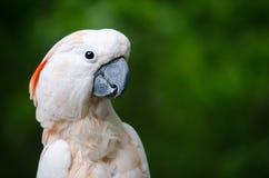 Попугай смотря к праву стоковая фотография rf