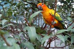 Попугай Солнця Conure на дереве Стоковое Изображение