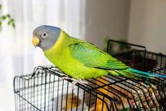 Попугай слив-головый стоковые изображения
